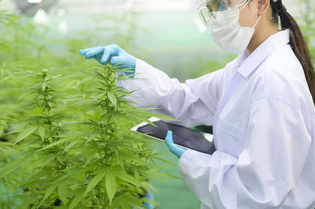 harvest the cannabis plant
